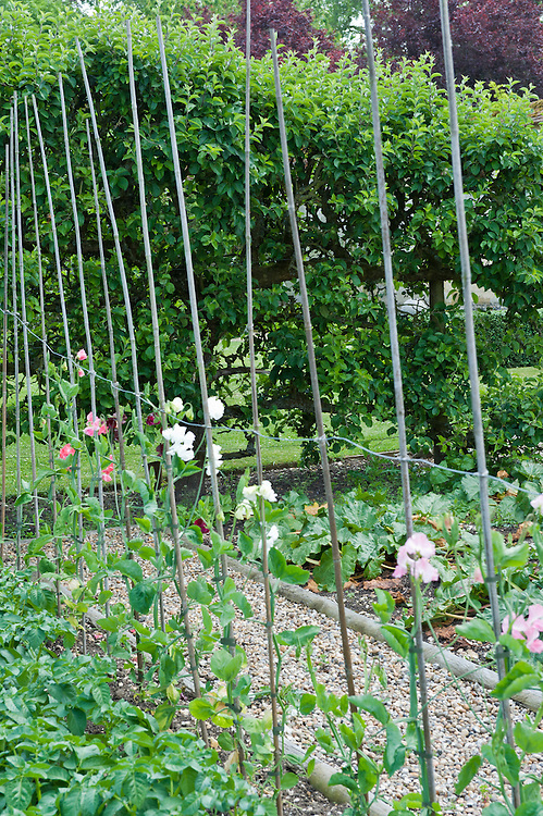 Sweet peas, potatoes and courgettes in a kitchen garden bordered by a row of espalier apple trees, early June.