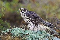 528000017 a captive prairie falcon falco mexicanus perches on a lichen-covered rock in central colorado
