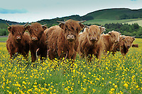 Young Highland Cattle grazing in a field with buttercups, Winterburn, North Yorkshire, England.