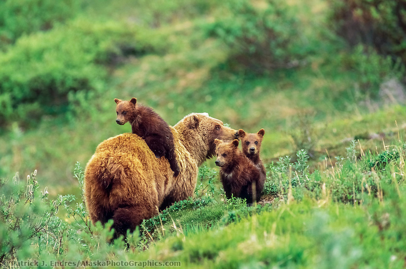 Sow grizzly bear and three (triplet) spring cubs, one jumped on her back, on the green summer tundra in Denali National Park, Alaska.