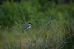 Belted Kingfisher sitting on a branch in the wetlands