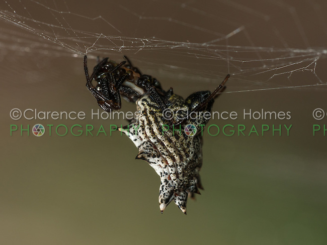 A female Spined Micrathena (Micrathena gracilis) waits for prey on her web.