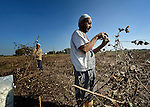 Farhoun Saad harvests cotton outside the Egyptian village of Sakra. Working behind him is Gatar Saad.