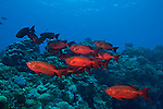 Lunar-tailed bigeye.Priacanthus hamrur