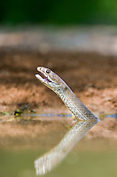 414140001 western coachwhip snake masticophis flagelum testaceus bathes and drinks in a small pond in the rio grande valley of south texas