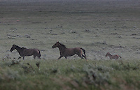 A band (horse family) runs through rain during a passing summer thunderstorm.  <br />