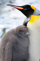 21/12/09 King Penguin: the young prince