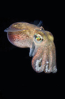 Stubby Squid, Rossia pacifica, a species of bobtail squid from the North Eastern Pacific Ocean. Victoria, Vancouver Island, Canada.