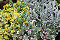 Thymus lemon thyme Thymus Doone Valley with green and gold variegated leaves, Old English Lavandula angustifolia lavender, variegated Salvia officinalis Tricolor sage, herbs mixed planting, combination garden variegated foliages different kinds together