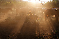 Dust rises and the mustang herd stirs in early morning on the Wild Horse Sanctuary.  <br /> <br /> The Sanctuary is located near Shingletown, California on 5,000 acres of lush lava rock-strewn mountain meadow and forest land. <br /> Dianne Nelson has saved mustangs on a ranch in northern California.  &quot;It was in 1978 that the Wild Horse Sanctuary founders rounded up almost 300 wild horses for the Forest Service in Modoc County, California. Of those 300, 80 were found to be un-adoptable and were scheduled to be destroyed at a government holding facility near Tule Lake, California. <br /> The Sanctuary is located near Shingletown, California on 5,000 acres of lush lava rock-strewn mountain meadow and forest land. Black Butte is to the west and towering Mt. Lassen is to the east. <br /> Their goals:<br /> Increase public awareness of the genetic, biological, and social value of America's wild horses through pack trips on the sanctuary, publications, mass media, and public outreach programs.<br /> Continue to develop a working, replicable model for the proper and responsible management of wild horses in their natural habitat.<br /> Demonstrate that wild horses can co-exist on the open range in ecological balance with many diverse species of wildlife, including black bear, bobcat, mountain lion, wild turkeys, badger, and gray fox..Collaborate with research projects in order to document the intricate and unique social structure, biology, reversible fertility control, and native intelligence of the wild horse.