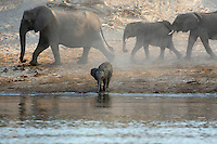 Thirsty elephants (loxodonta africana) at the Chobe River, Botswana. Chobe National Park is full of elephants - at times an estimated 25.000 animals along 42 kilometers of river front. The huge number of hungry elephants have a disastrous impact on the forest - many areas looks like a moon landscape.<br /> September 2007.