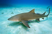 Lemon Shark, Negaprion brevirostris, with Sharksuckers, Echeneis naucrates, West End, Grand Bahama, Atlantic Ocean