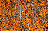 Golden Aspens - Fall Color