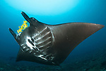 The reef manta ray, Manta alfredi, with yellow pilot fish in front of its mouth, Dampier Strait, Raja Ampat, West Papua, Indonesia