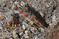 qp2321-D. Flagtail Shrimpgoby (Amblyeleotris yanoi) and commensal shrimp (Alpheus randalli) live together in burrow. Indonesia, tropical Indo-Pacific Oceans.<br /> Photo Copyright &copy; Brandon Cole. All rights reserved worldwide.  www.brandoncole.com<br /> <br /> This photo is NOT free. It is NOT in the public domain. This photo is a Copyrighted Work, registered with the US Copyright Office. <br /> Rights to reproduction of photograph granted only upon payment in full of agreed upon licensing fee. Any use of this photo prior to such payment is an infringement of copyright and punishable by fines up to  $150,000 USD.<br /> <br /> Brandon Cole<br /> MARINE PHOTOGRAPHY<br /> http://www.brandoncole.com<br /> email: brandoncole@msn.com<br /> 4917 N. Boeing Rd.<br /> Spokane Valley, WA  99206  USA<br /> tel: 509-535-3489