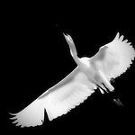Egret flying overhead.