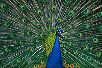 569509014 a wild male blue peafowl or peacock pavo cristatus spreads his spectaculartail feathers in a breeding display