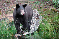 Young Black Bear standing on a fallen log along the shore of a stream  - CA