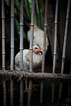 Chickens in a bamboo cage in Sandrandahy, Magascar.