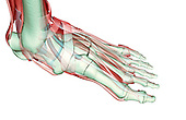 An anteromedial view of the musculoskeleton of the left foot. Royalty Free