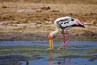 Painted Stork (Mycteria leucocephala) Yala National Park, Sri Lanka