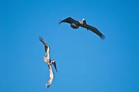 Brown Pelicans flying and diving<br /> US Virgin Islands