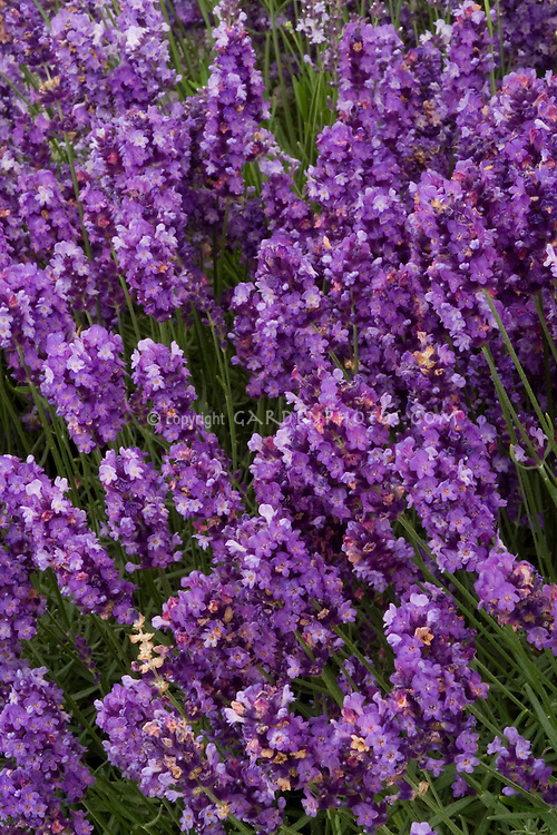 Lavandula angustifolia 'Imperial Gem' English lavender