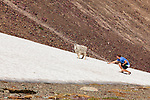 A man in his late twenties attempts to feed a mountain goat near Logan Pass in Glacier National Park.