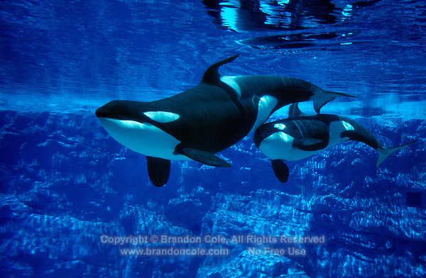 sea worlds orca whales essay