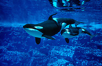 Photo MF-441. Orca (Killer) Whales  (Orcinus orca), mother and calf, in aquarium at Sea World, Florida. captive animals..Photo Copyright © Brandon Cole. All rights reserved worldwide.  www.brandoncole.com..This photo is NOT free. It is NOT in the public domain..Rights to reproduction of photograph granted only upon payment in full of agreed upon licensing fee. Any use of this photo prior to such payment is an infringement of copyright and punishable by fines up to  $150,000 USD...Brandon Cole.MARINE PHOTOGRAPHY.http://www.brandoncole.com.email: brandoncole@msn.com.4917 N. Boeing Rd..Spokane Valley, WA  99206  USA.tel: 509-535-3489.