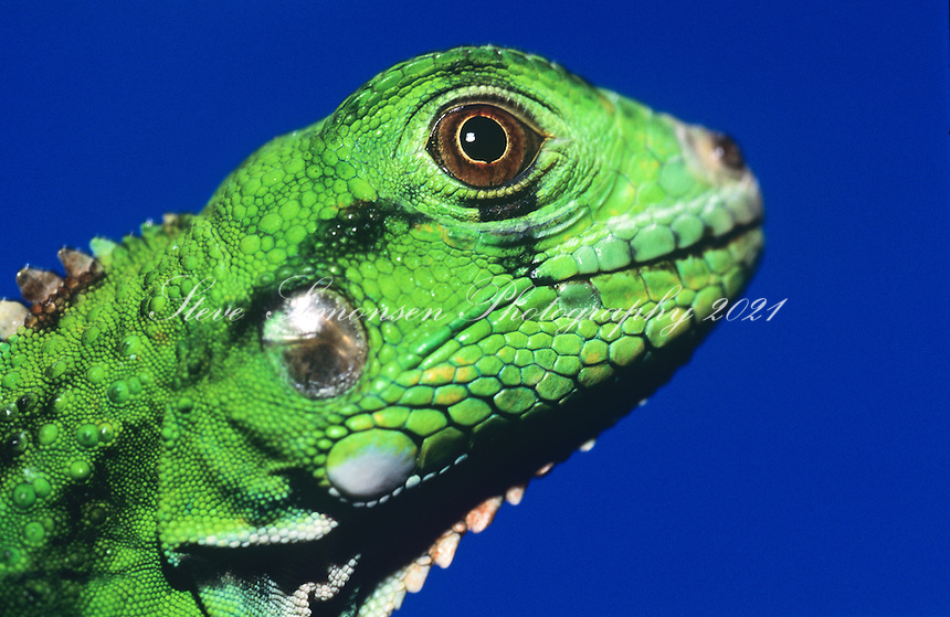 Young green iguana<br /> Virgin Islands