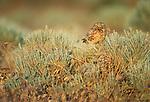 Burrowing owl, Oregon, USA