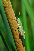 343250002 a wild male green bird grasshopper schistocerca shoshone perches on a cattail along the middle fork of the gila river in cochise county new mexico