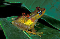 Red-backed Bright-Eyed Frog female (Boophis bottae), Andasibe-Mantadia National Park, Madagascar