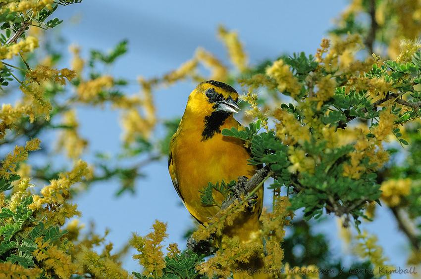 Birds of the Americas
