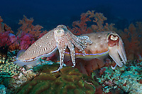 RA75285-D. Pharaoh Cuttlefish (Sepia pharaonis), male on left courting female on right. Philippines. Tropical Indo-West Pacific oceans.<br /> Photo Copyright &copy; Brandon Cole. All rights reserved worldwide.  www.brandoncole.com