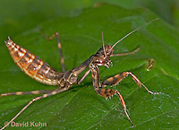 "0203-07qq  Budwing Mantis ""Nymph"" - Parasphendale agrionina ""Nymph"" © David Kuhn/Dwight Kuhn Photography"