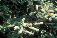 Common Chokeberry in bloom Prunus virginiana