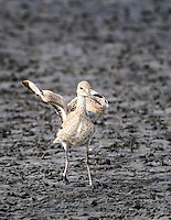 Willet landing on mudflats in Merritt Island