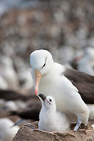 Black-browed albatross with chick, Steeple Jason Island in the Falklands.