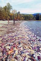 Annual Adams River Sockeye Salmon Run (Oncorhynchus nerka), Roderick Haig-Brown Provincial Park near Salmon Arm, BC, British Columbia, Canada - Dead Fish rotting along Shore of Shuswap Lake - note people working to clean up shoreline
