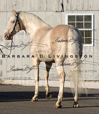 Goldmaker, a rare cremello Thoroughbred, combines the two major palomino Thoroughbred descendants - Glitter Please and Milkie.  At Stoneybrooke Farm, 2009