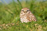 A burrowing owl sits in its burrow surveying the surrounding area