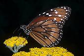 Soldier Butterfly (Danaus eresimus), Family Nymphalidae, Florida, USA.
