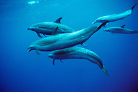 pantropical spotted dolphins, .Stenella attenuata, displaying .open-mouth threat, Hawaii (Pacific).