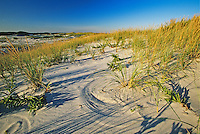 Secondary Sand Dunes, sand sculpting and American beach grass, Island Beach State Park, New Jersey