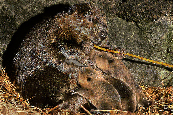 http://cdn.c.photoshelter.com/img-get/I0000CMNeAabs_54/s/600/600/Mother-baby-beavers-pictures-photos-MT238.jpg
