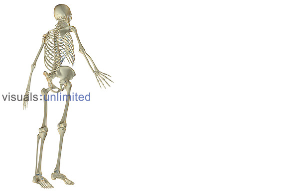 An inferior posterolateral (right side) view of the skeletal system. Royalty Free