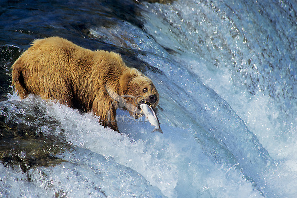 Bear grizzly bear catching salmon ursus arctos photo or for Bear catching fish