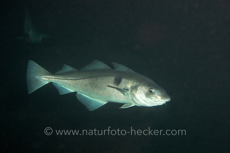 Schellfisch, Schell-Fisch, Melanogrammus aeglefinus, haddock